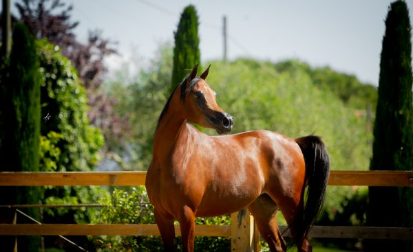 Alyna in foal to European and Italian Champion Michelangelo Regalis.
